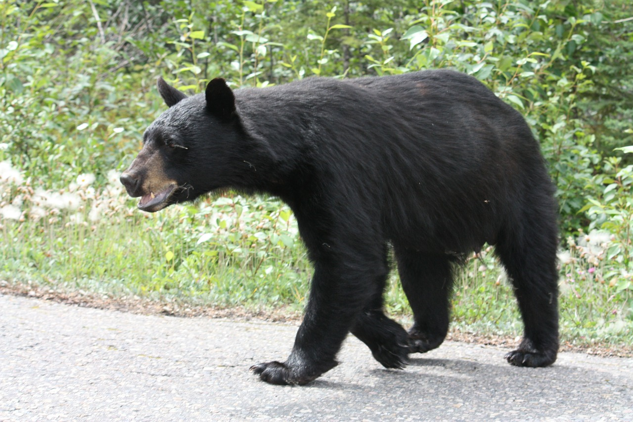 black bear bear jasper free photo