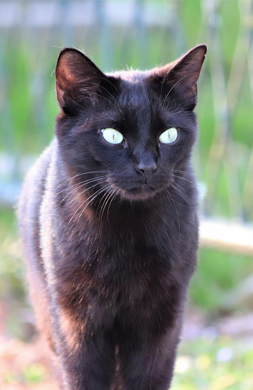 Black Cat Green Eyes Pet Cute Domestic Free Image From Needpix Com