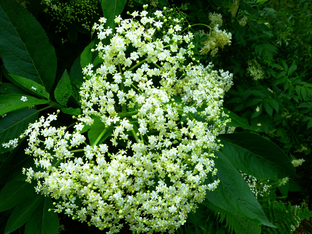 black elderberry elderflower branch free photo
