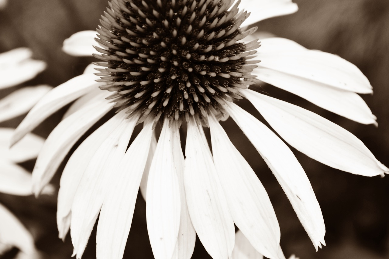 black white blossom bloom free picture