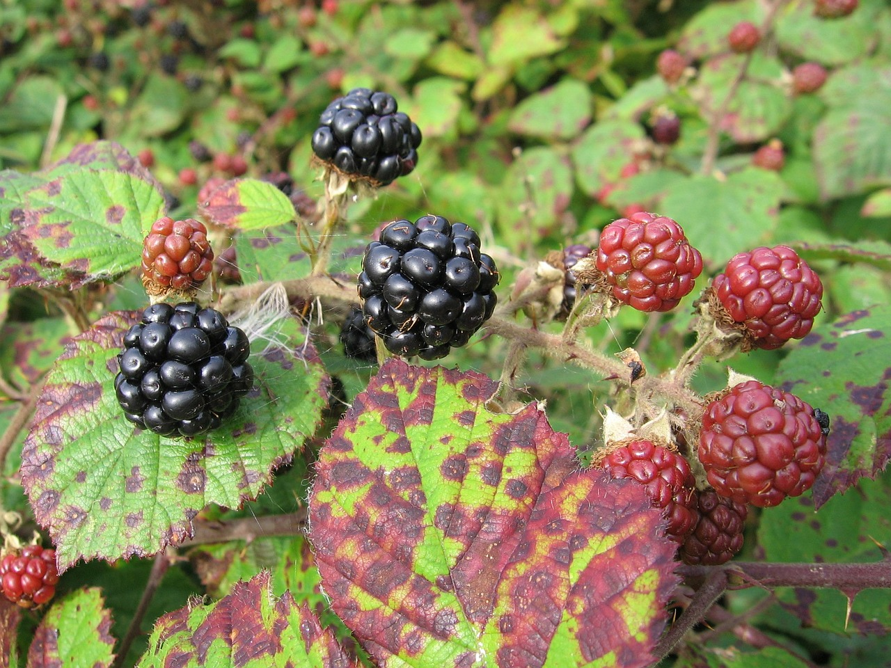 blackberry,fruits of the forest,fruit,free pictures, free photos, free images, royalty free, free illustrations, public domain