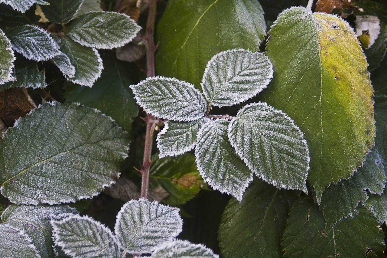 blackberry hoarfrost cold free photo