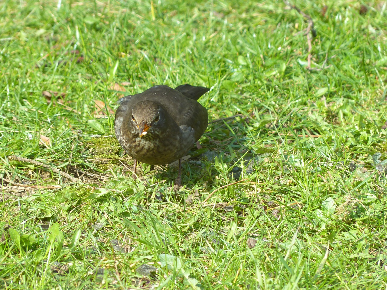 blackbird turdus merula true free photo