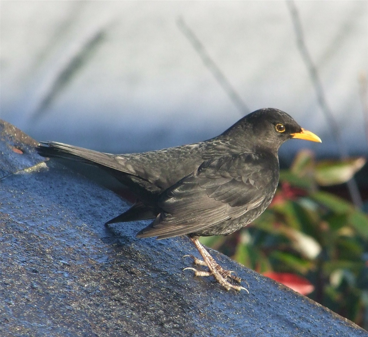 blackbird bird perched free photo