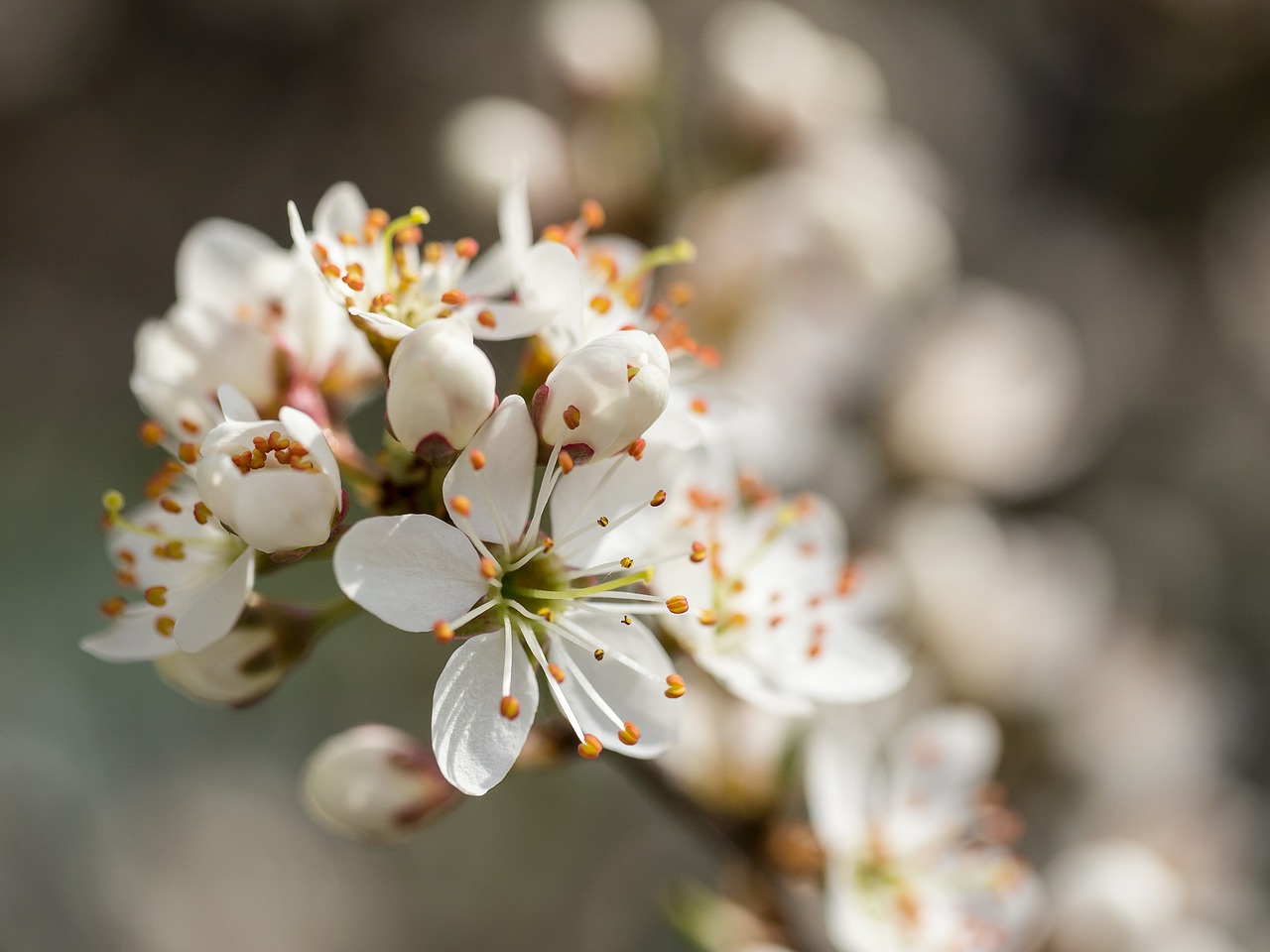 blackthorn schlehe flowers free photo