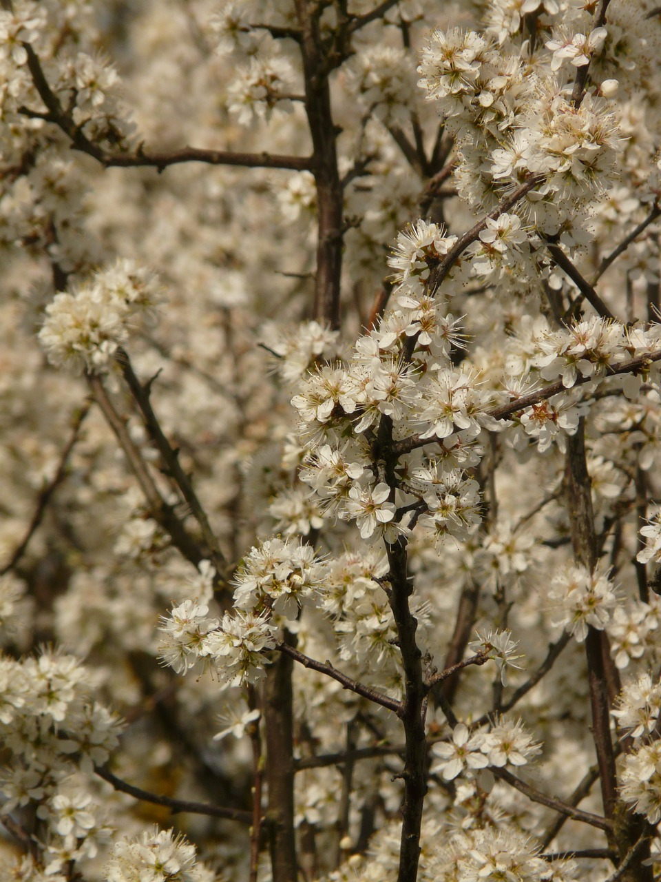 blackthorn,schlehendorn,schlehe,heckendorn,flowers,white,bloom,plant,bush,free pictures, free photos, free images, royalty free, free illustrations, public domain