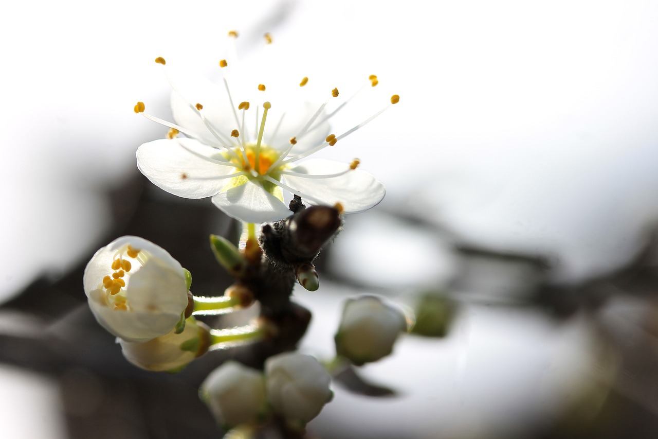 blackthorn blossom spring plant free photo
