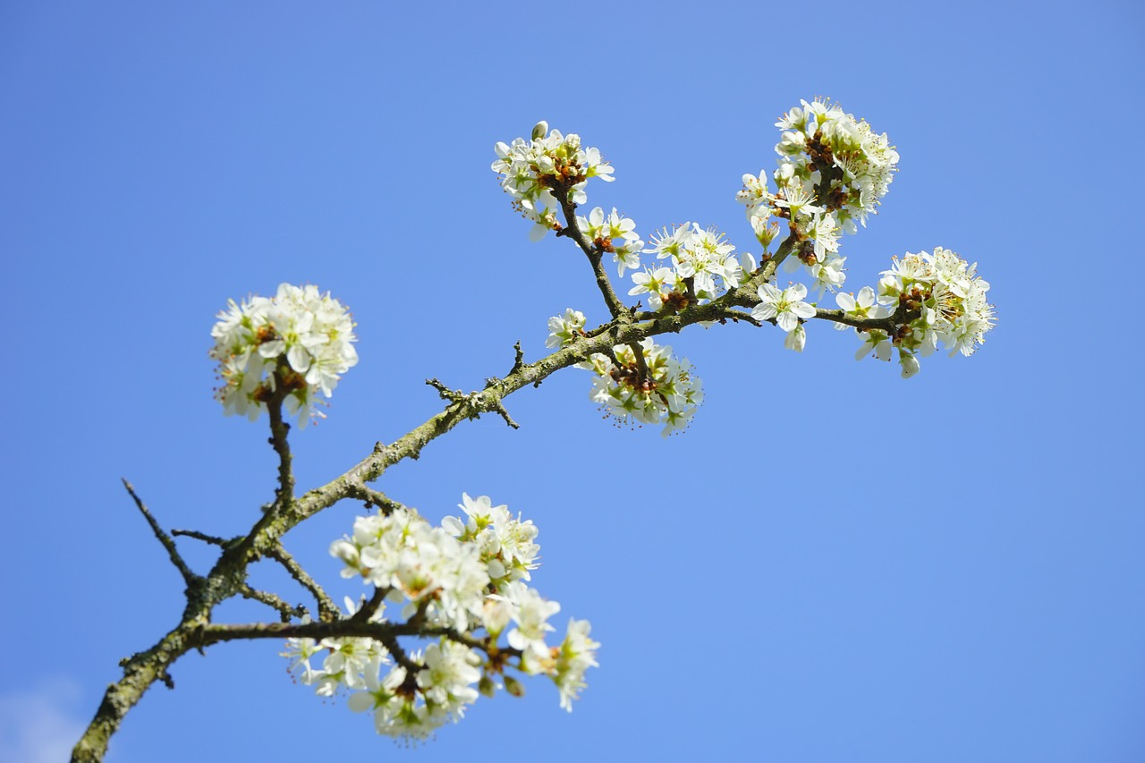 blackthorn flowers branch flowers free photo