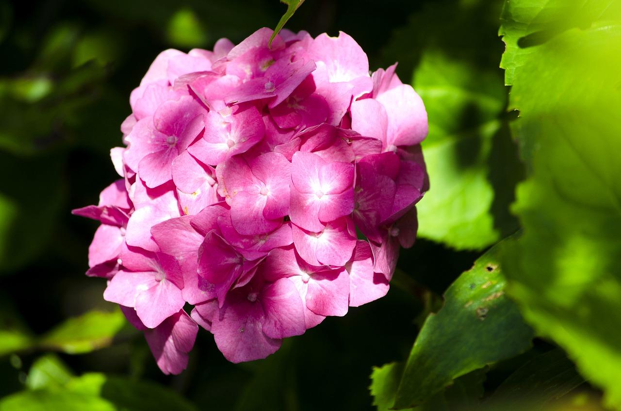 Bloomflower Pinksummerflowerblossom Free Photo From Needpix