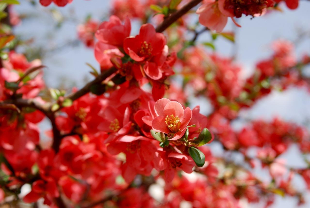 Blossombloombushspringsummer free photo from needpix blossombloombushspringsummernatureredflowering shrub mightylinksfo