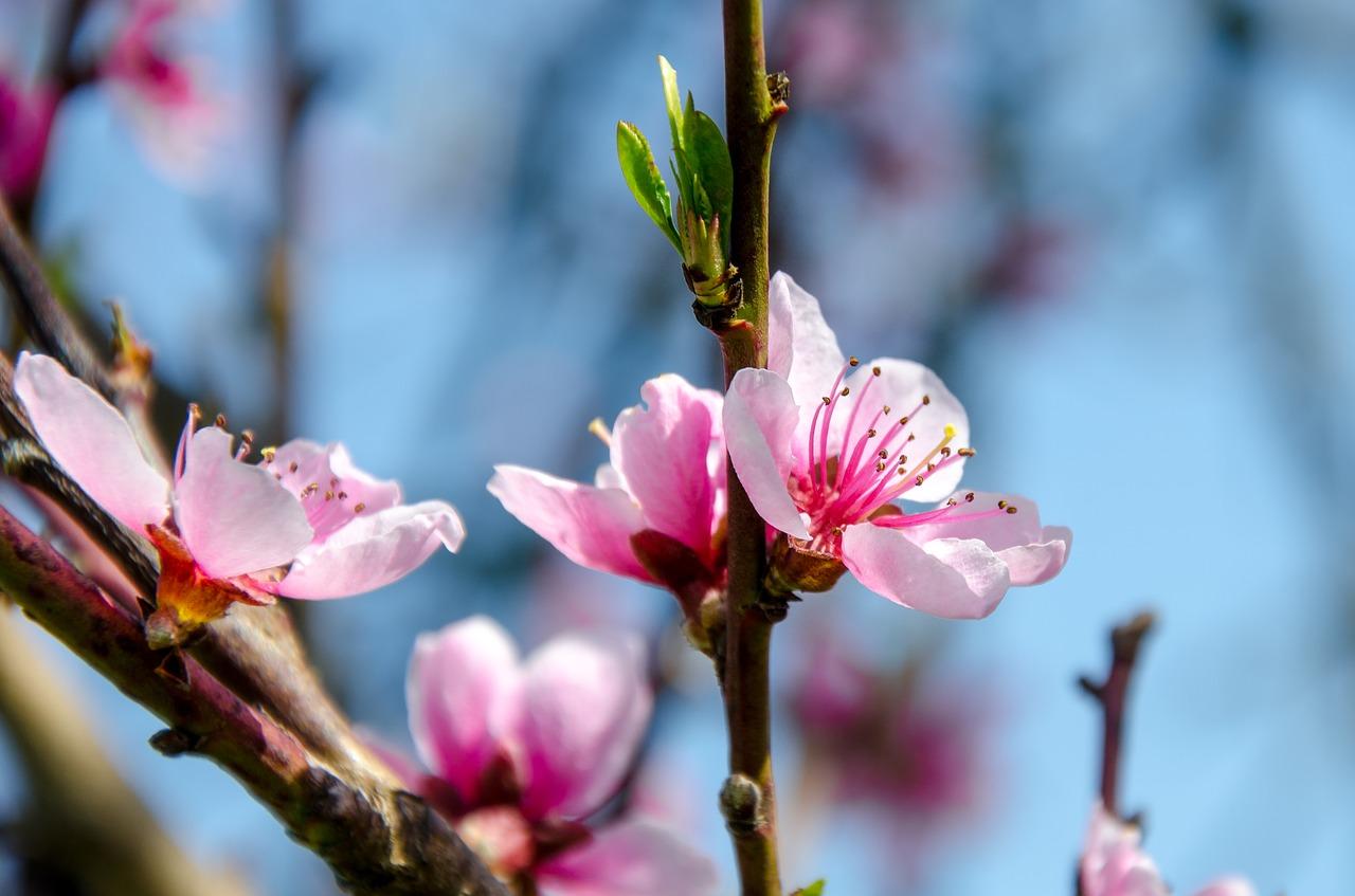 Blossomcherrycherry Blossomspringpink Free Photo From Needpix