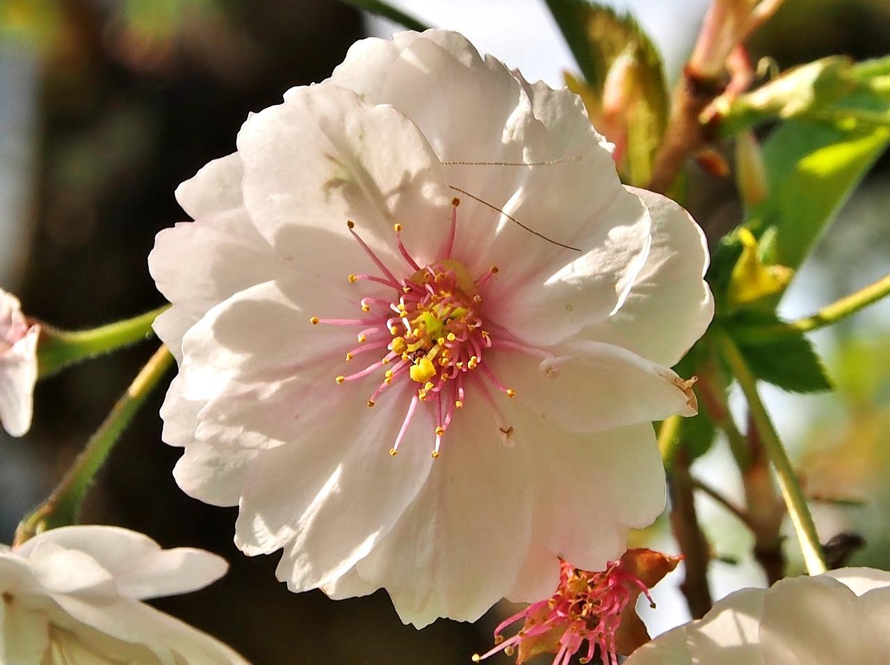 Blossombloomcherry Blossomwhite Pink Flowerjapanese Cherry