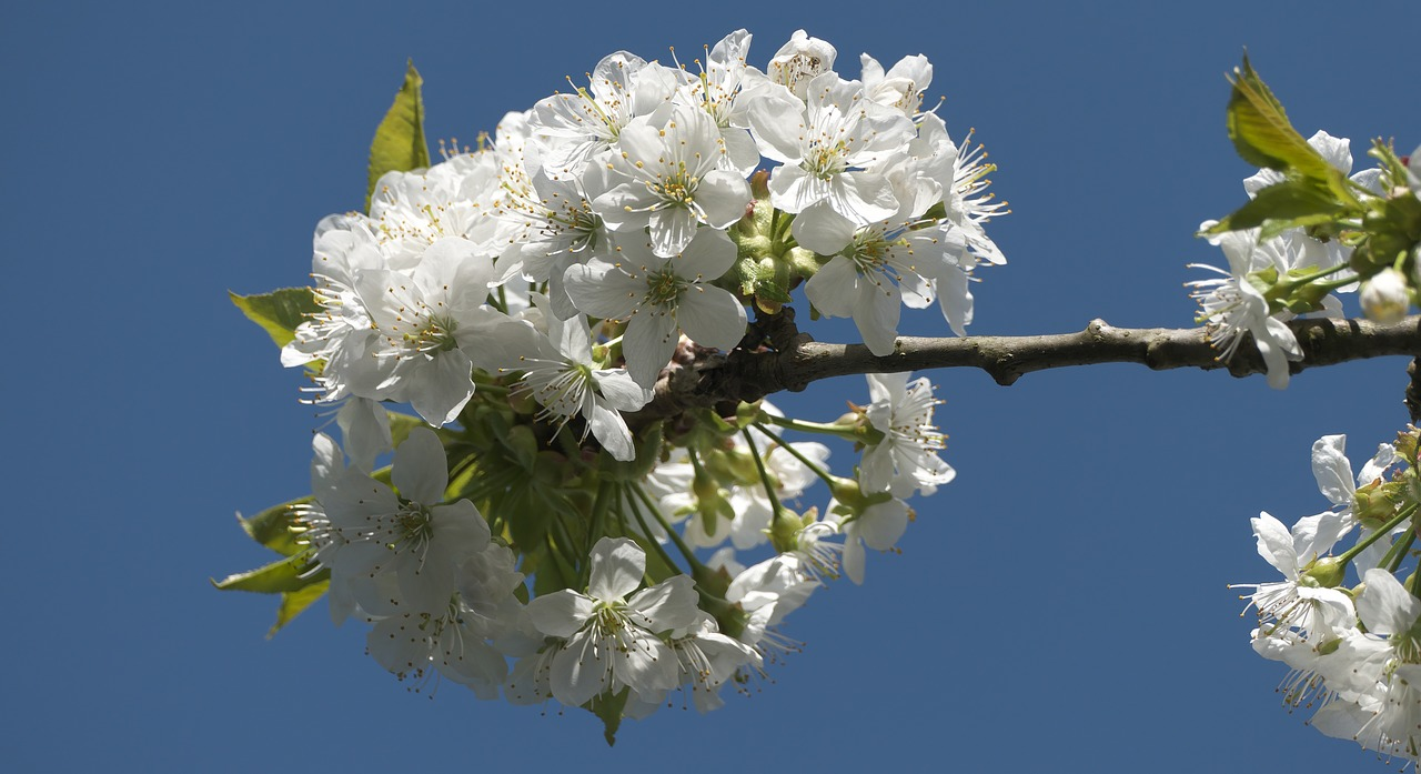 blossom, bloom, blue sky, cherry tree, cherry blossom, spring, white flowers, blossom, heyday, white splendour, spring blossoms, tree, branch,free pictures, free photos, free images, royalty free, free illustrations, public domain