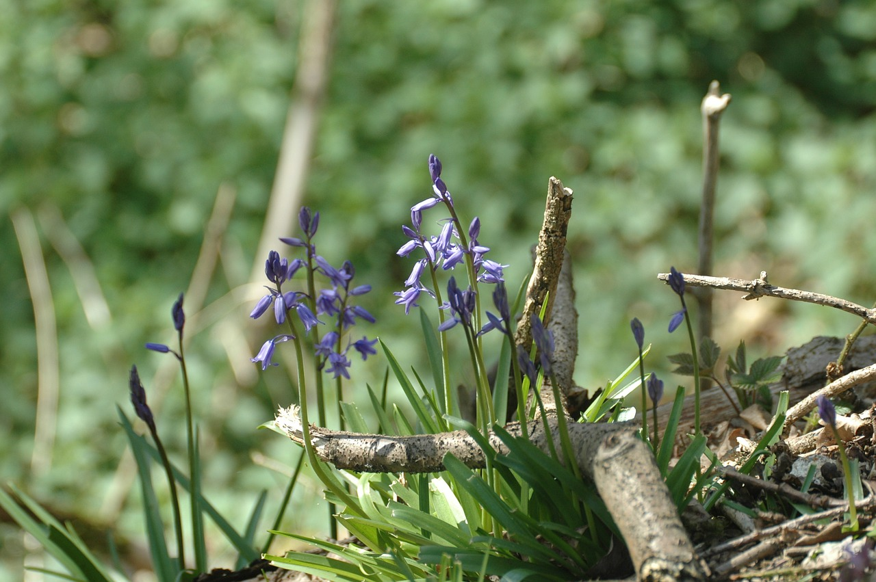 blue flowers bluebell free photo