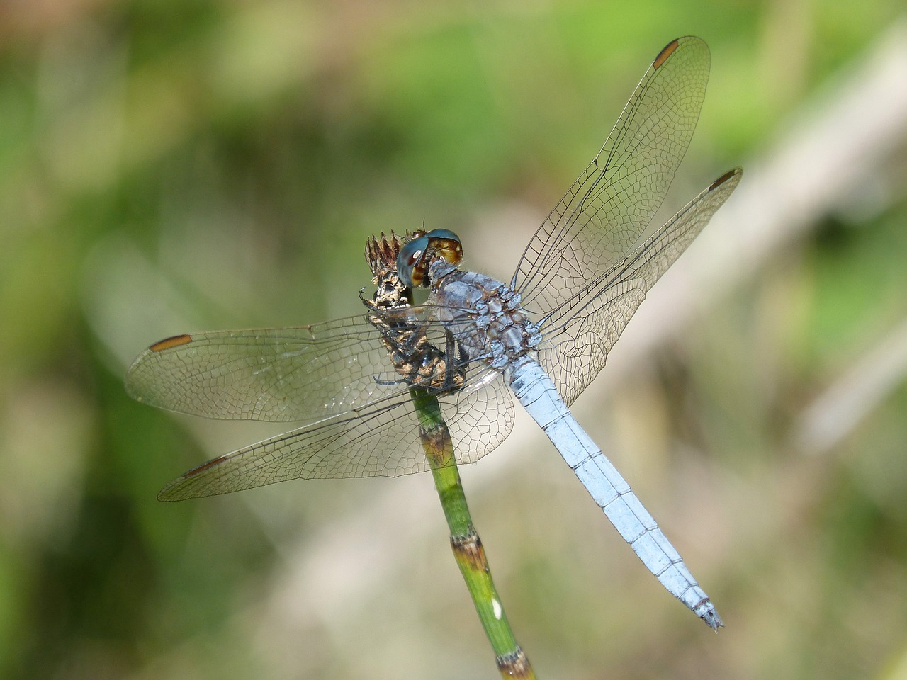 blue dragonfly branch wetland free photo