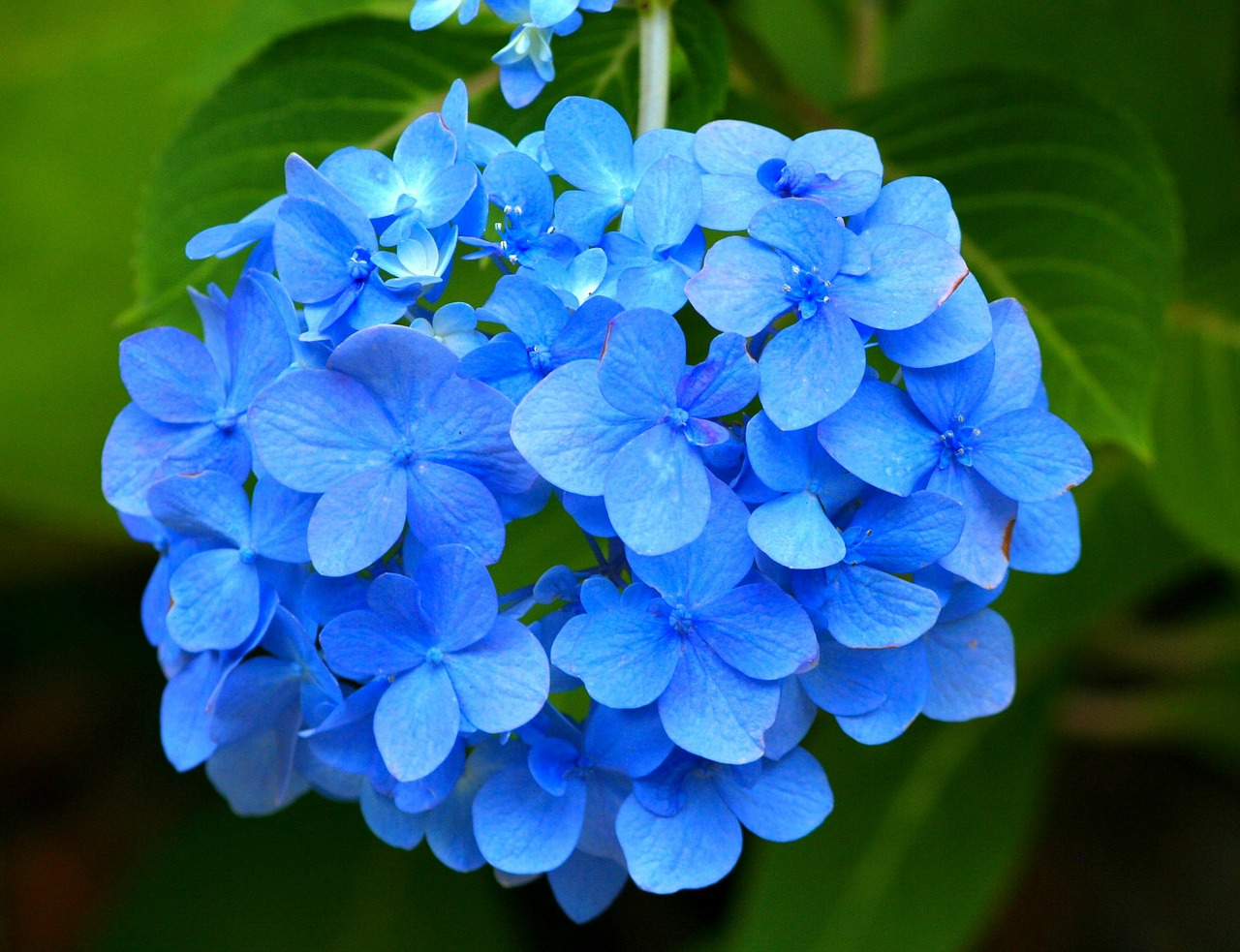 blue hydrangea hortensia flower free photo