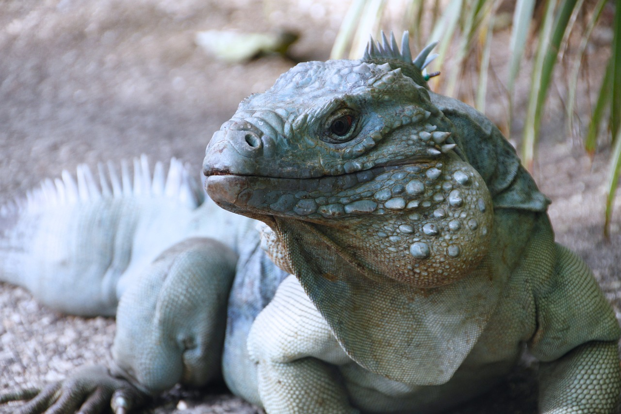 blue iguana iguana cayman islands free photo