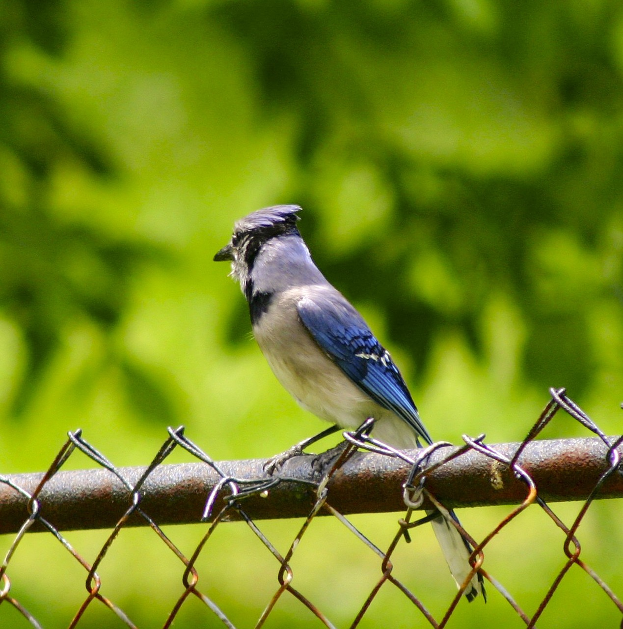 blue jay bird feathered free photo