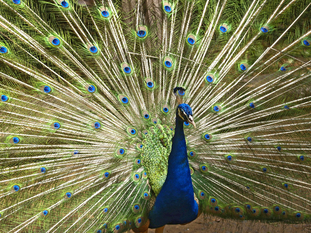 blue peacock bird fly free photo