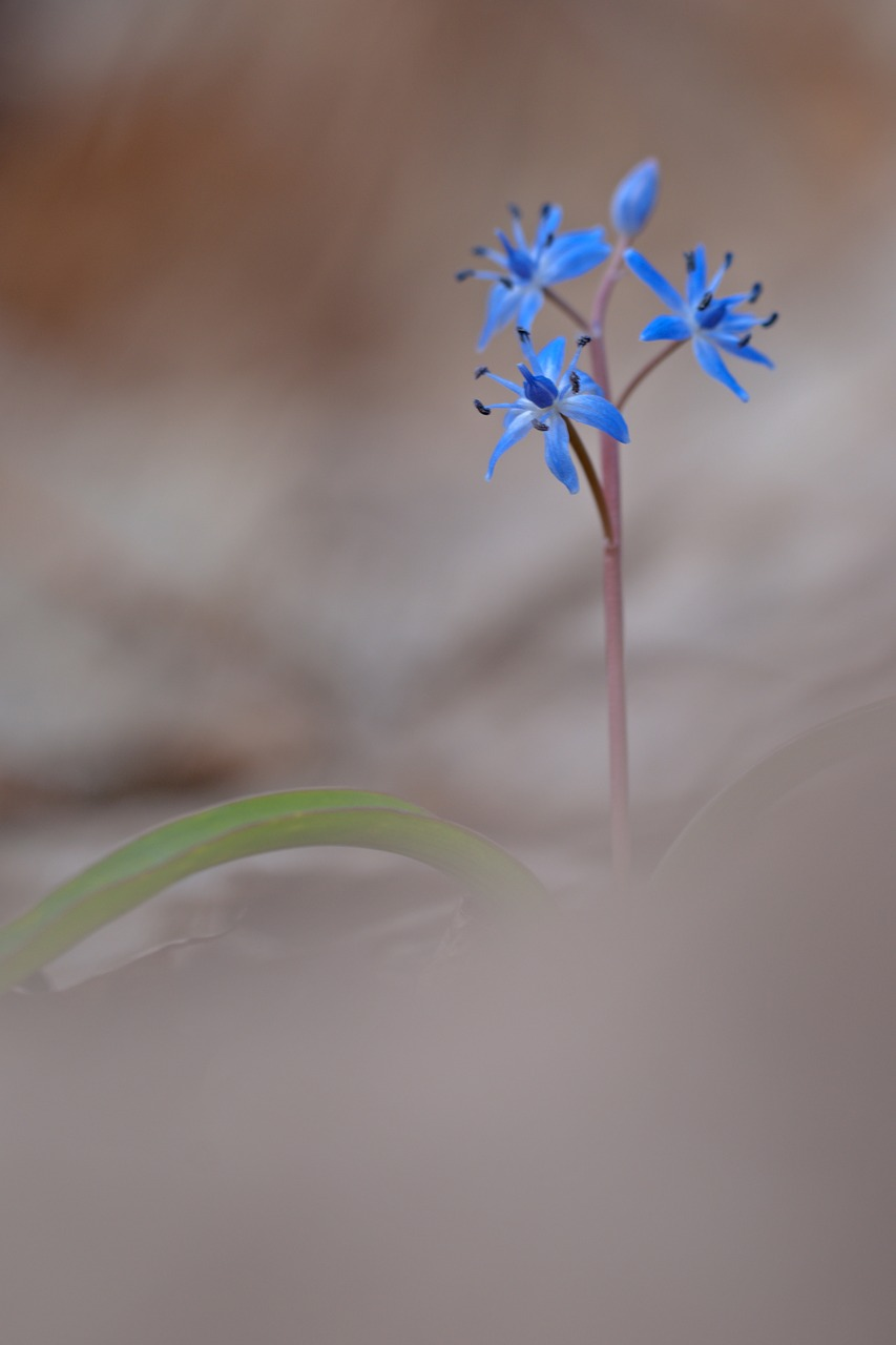 blue star flower scilla free photo