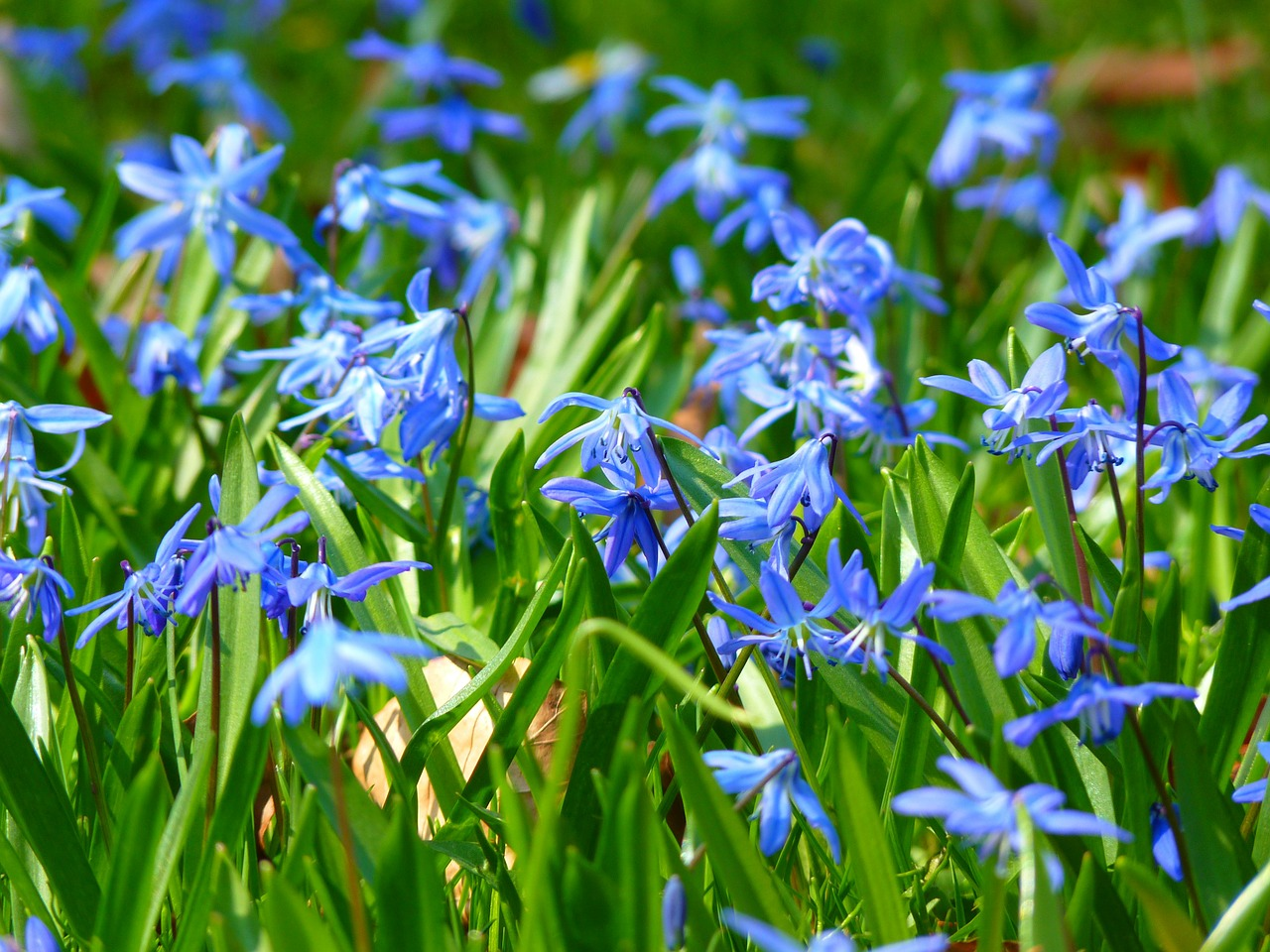 blue star scilla blossom free photo