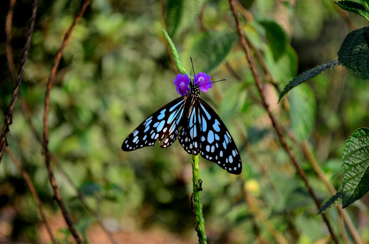 blue tiger butterfly insect free photo