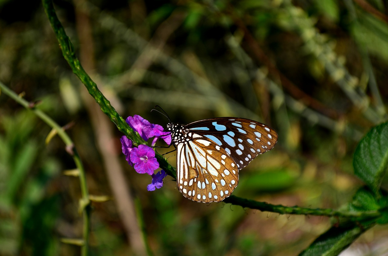 blue tiger butterfly butterfly flower free picture