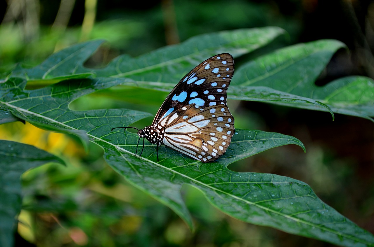 blue tiger butterfly butterfly flower free photo