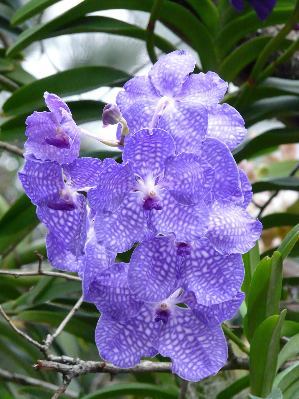 blue vanda orchid orchid blue free photo