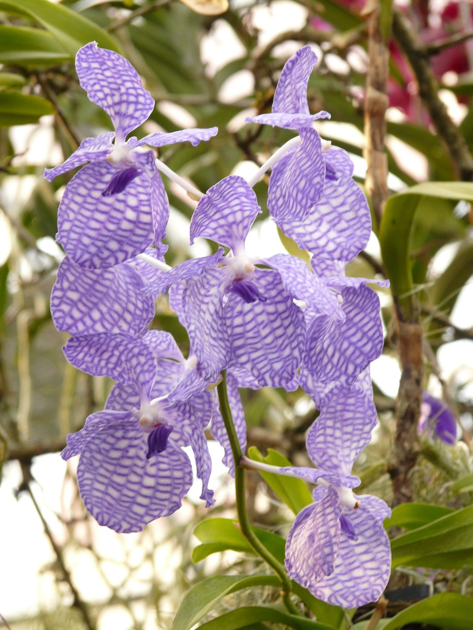 blue vanda orchid,orchid,blue,flower,blossom,bloom,plant,tropical,exotic,strong,color,vanda,free pictures, free photos, free images, royalty free, free illustrations, public domain
