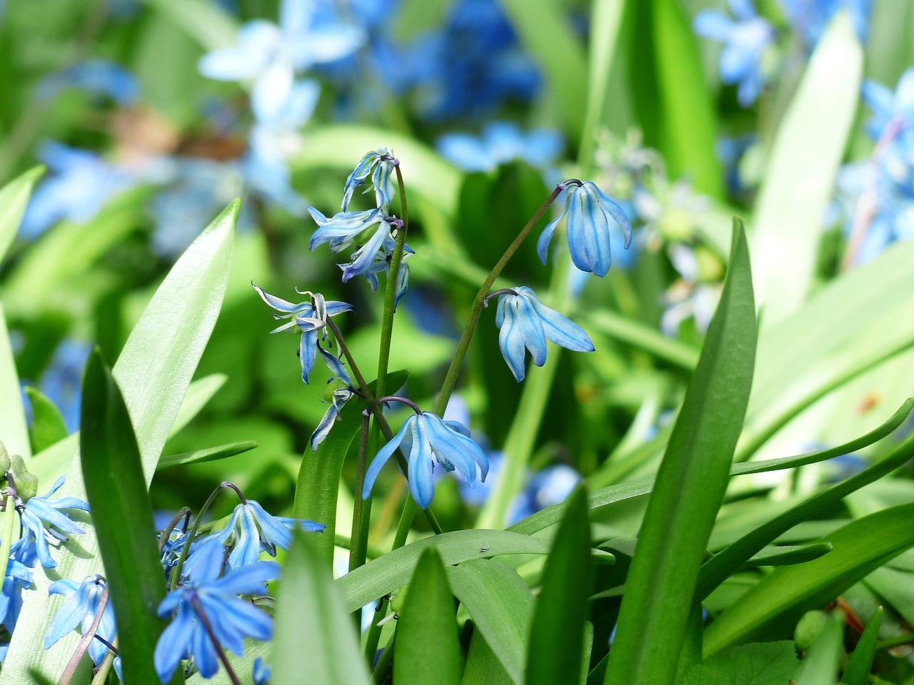 bluebell flower blossom free photo