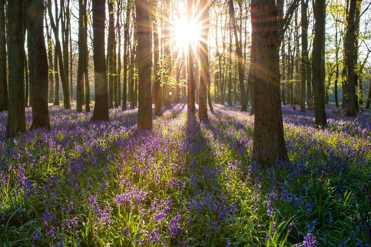 bluebell forest england free photo