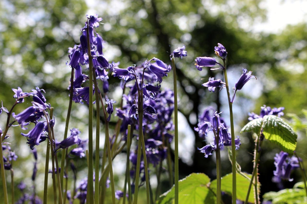Bluebellforestnaturespringflowers Free Photo From Needpix