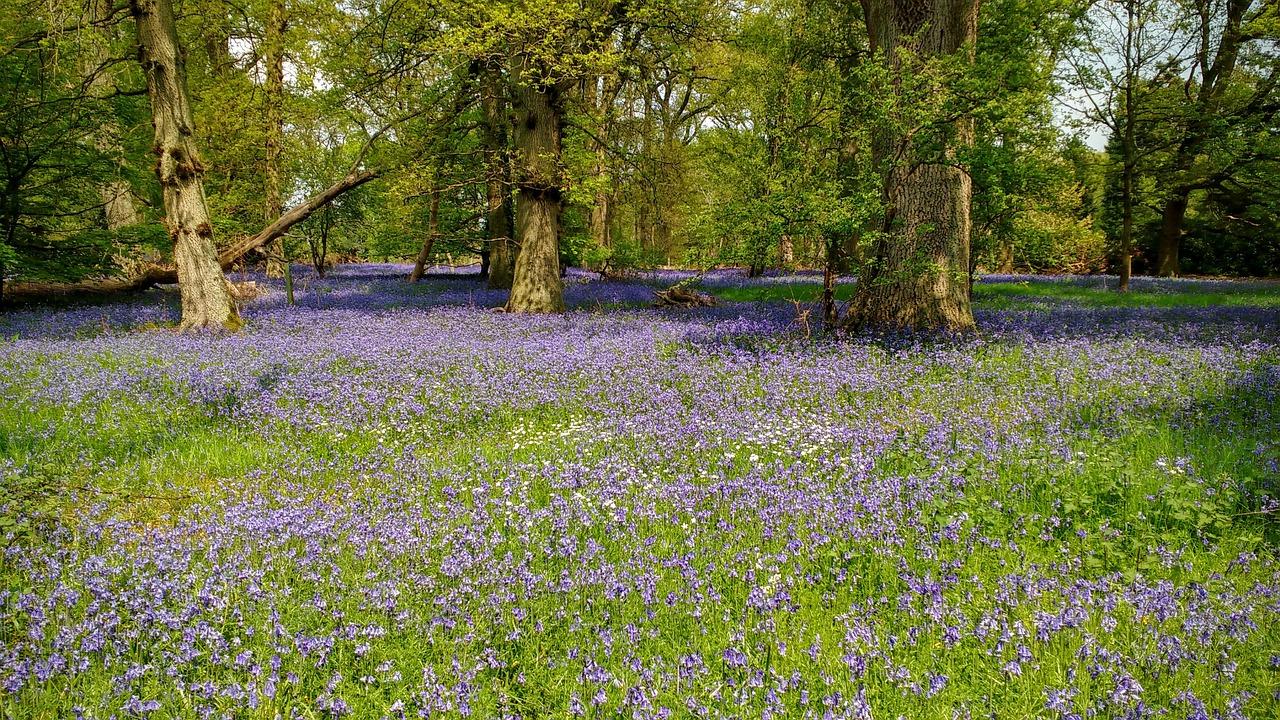 Bluebellswoodswoodlandspringblue Free Photo From Needpix