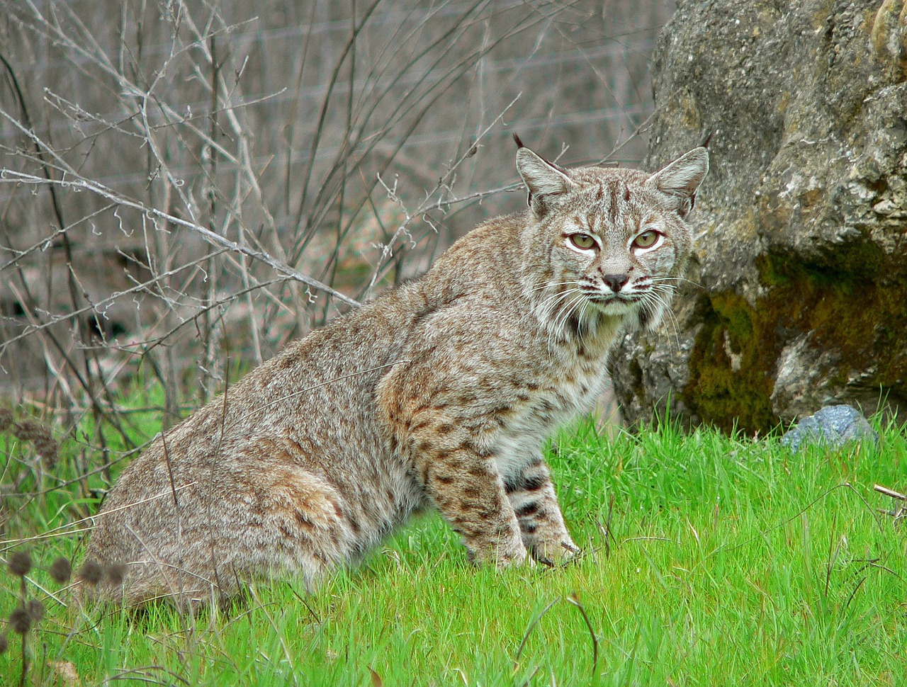 bobcat feline wildlife free photo