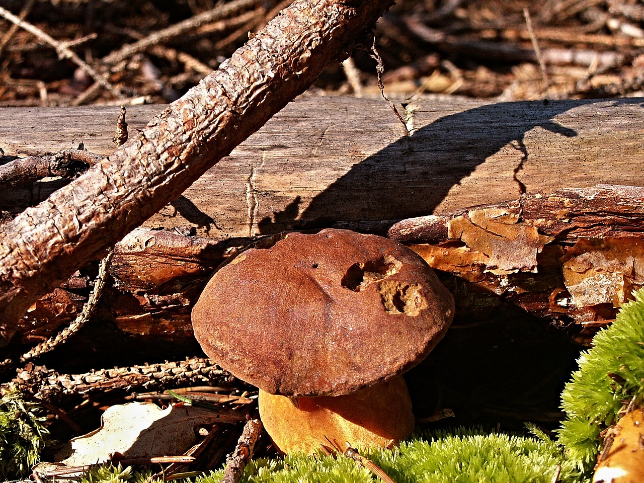 boletus fungus forest free photo