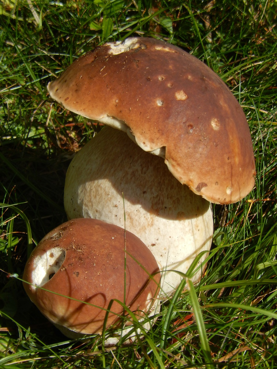 boletus,mushrooms,wood,free pictures, free photos, free images, royalty free, free illustrations, public domain