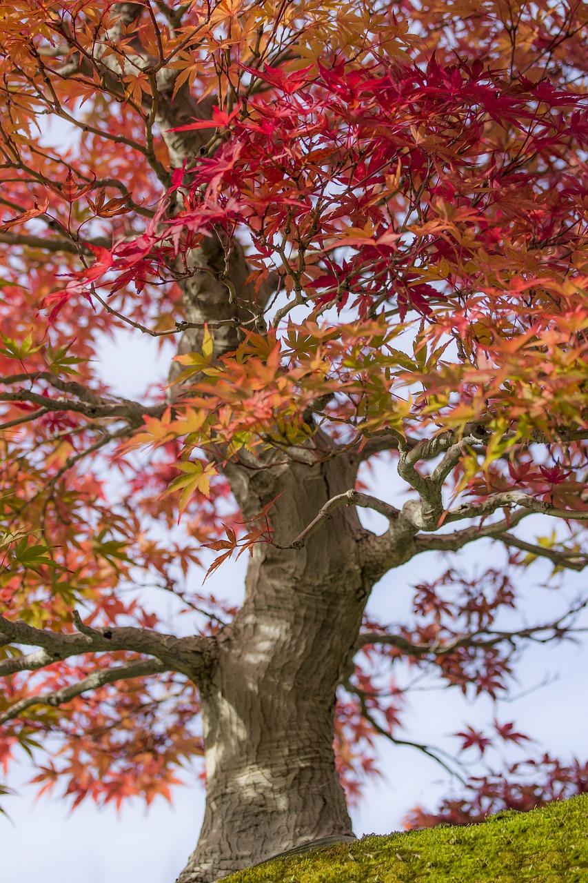 Bonsai,maple,japan maple,acer palmatum,wood - free photo from ...