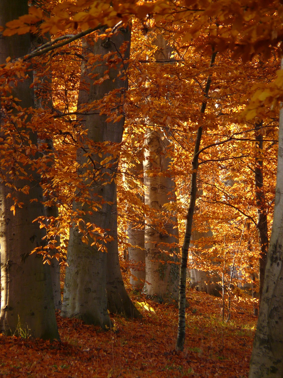 book beech wood golden autumn free photo