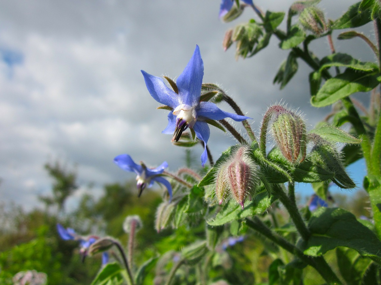 borago officinalis sky clouds free photo