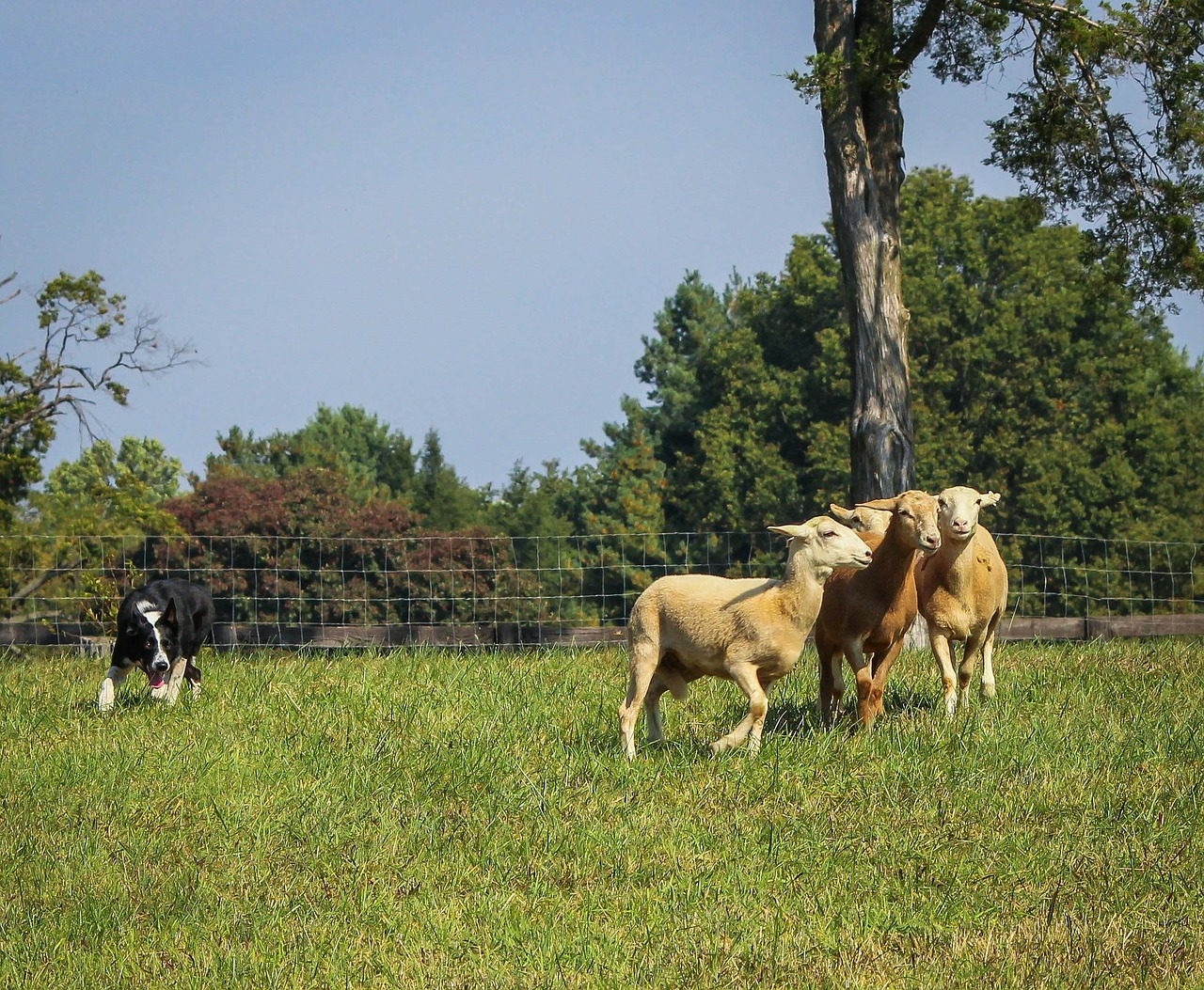 border collie sheep herding free photo