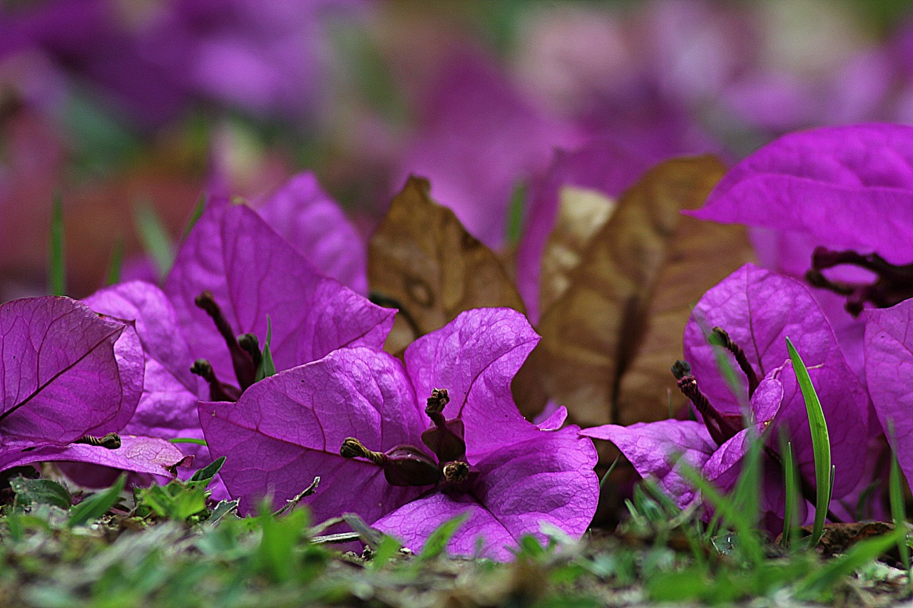 bougainvillea flower blossom free photo