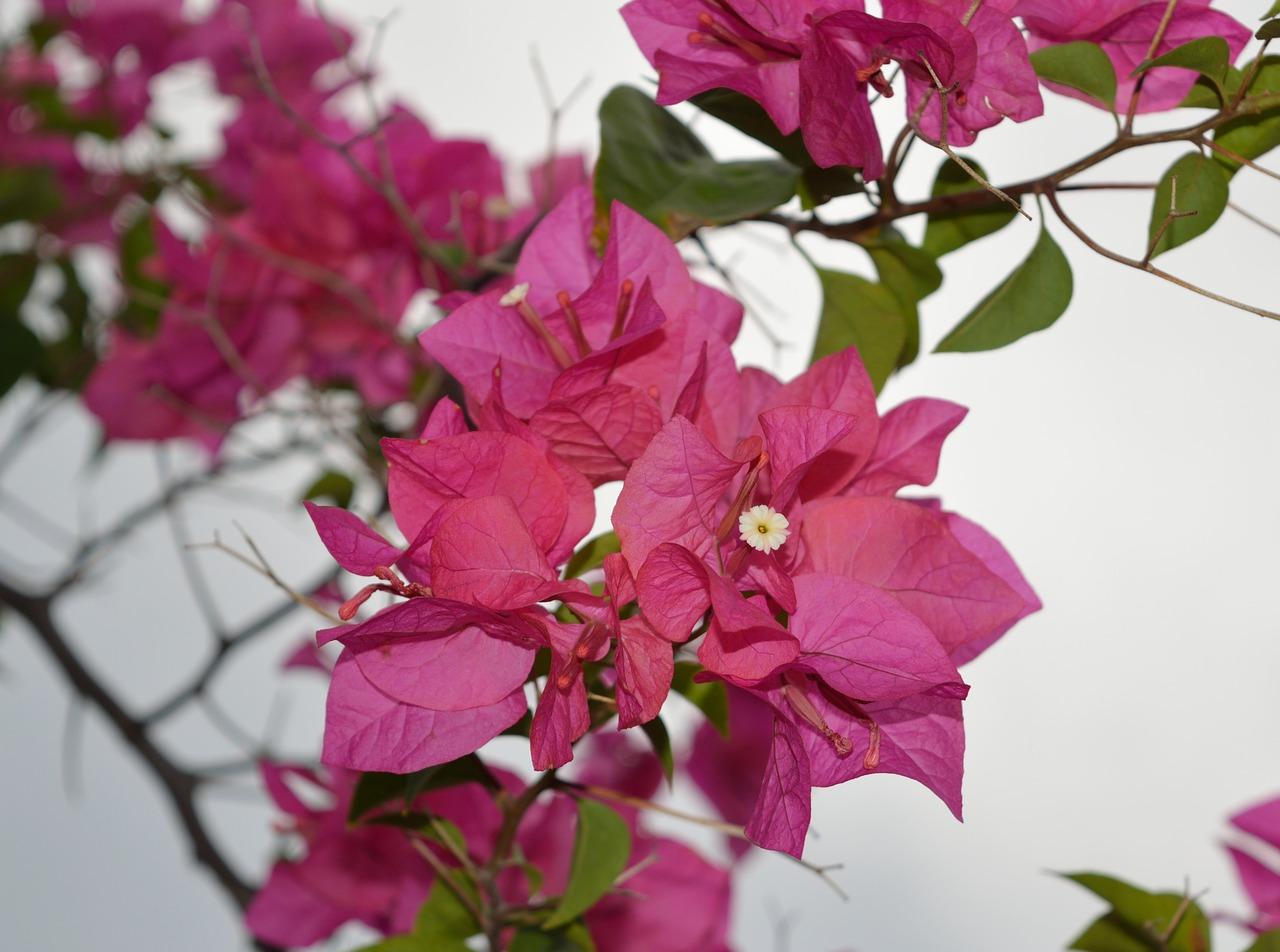 Bougainvilleapinkpaperflowerplant Free Photo From Needpix