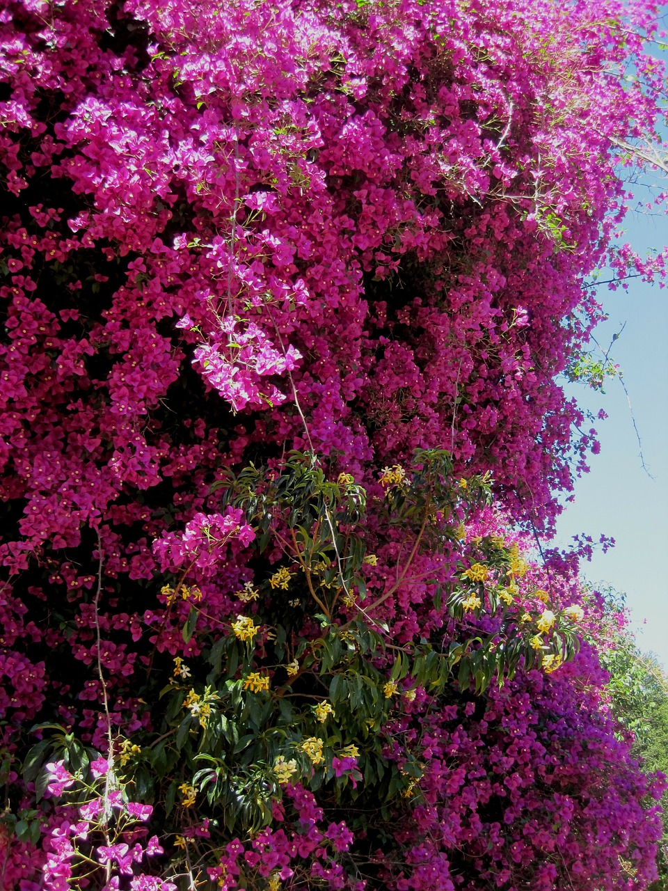 bougainvillea,shower,flowers,pink,bright,yellow between,dense,free pictures, free photos, free images, royalty free, free illustrations, public domain