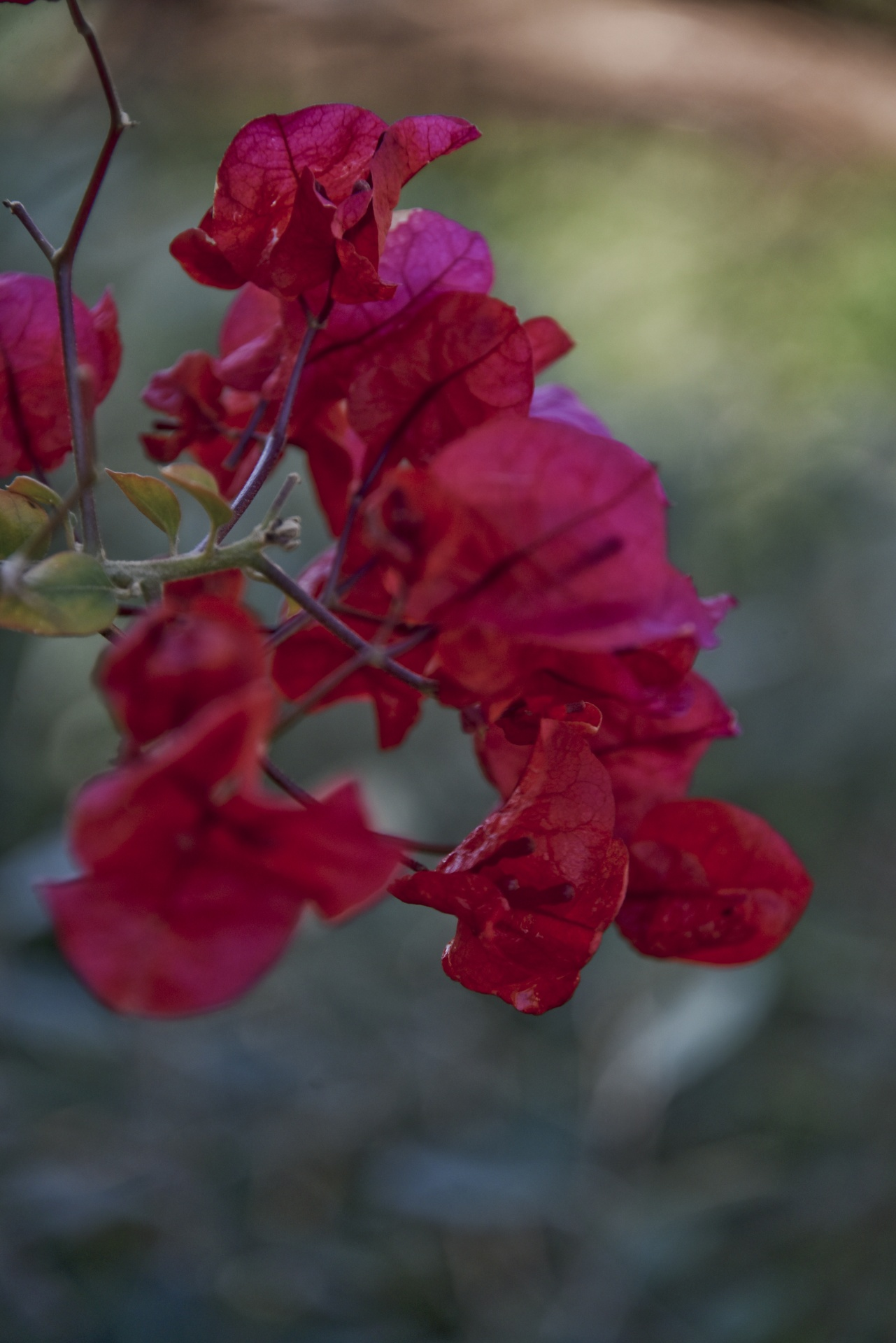 Bougainvilleaflowersvinesclimbingflower Free Photo From