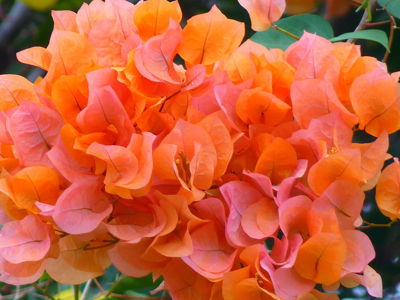 bouganville bougainvillea flower free photo