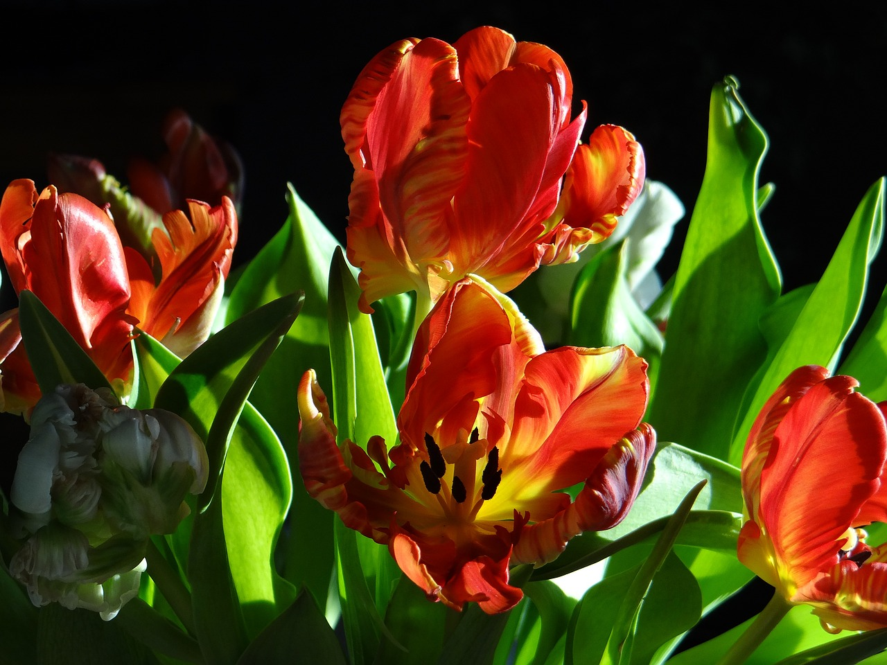 bouquet tulips spring free picture