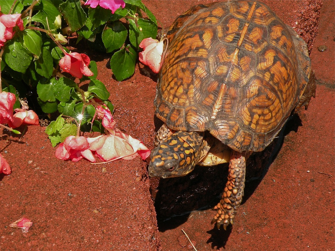 box turtle reptile amphibian free photo