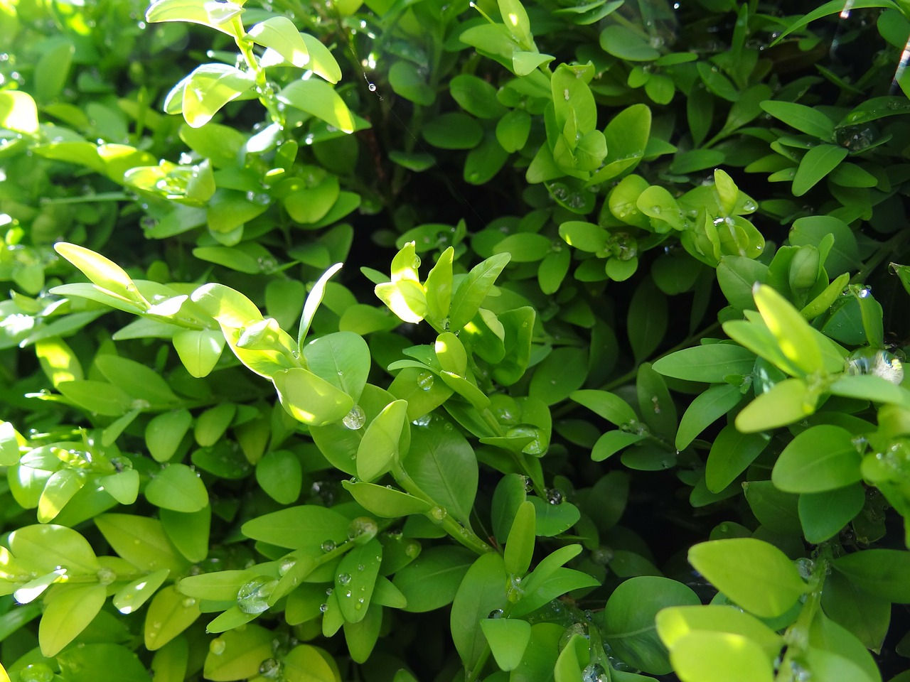 boxwood green nature free photo
