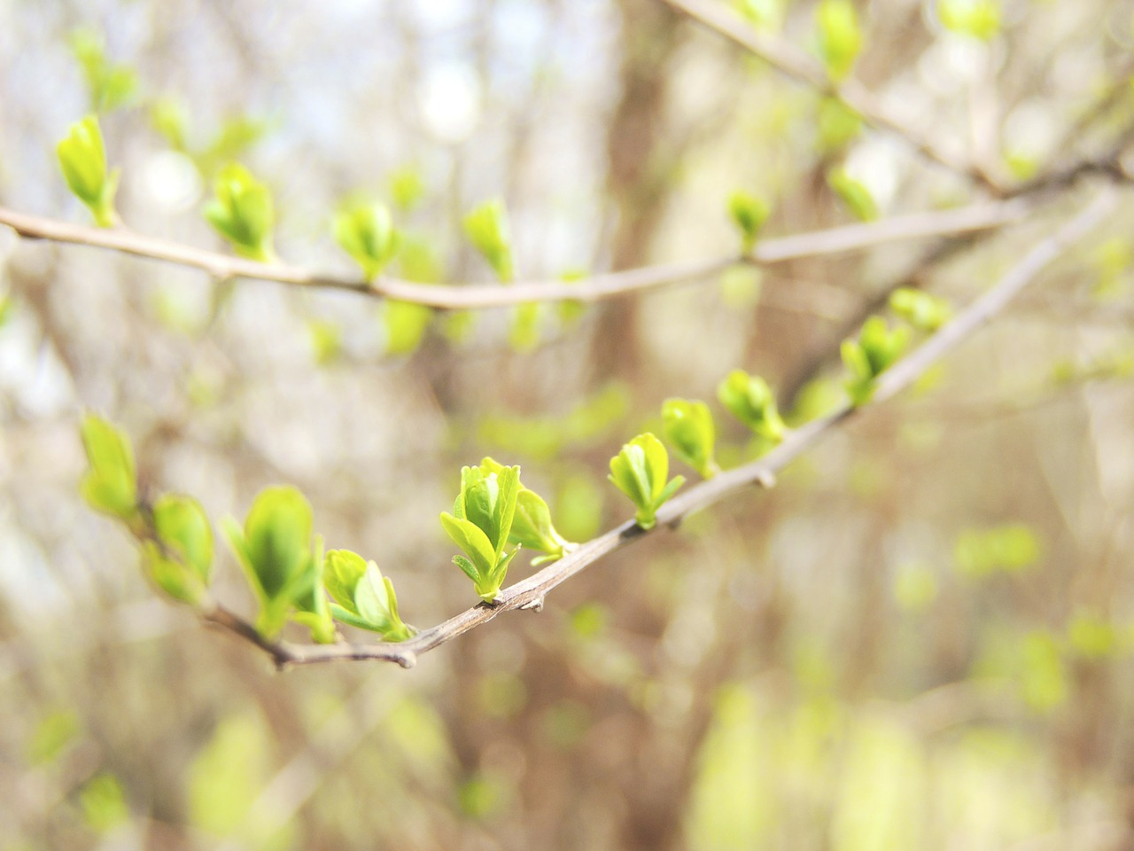 branch bud spring free photo